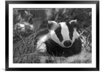 Black & white Badger Mustelidae, Framed Mounted Print
