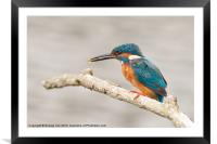 Kingfisher with a Fish, Framed Mounted Print