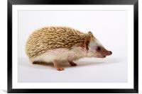 Pygmy Hedgehog, Framed Mounted Print