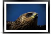 Yellow Billed Harris Hawk, Framed Mounted Print