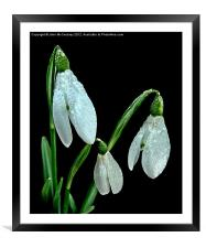 Rain Drops on Snowdrops, Framed Mounted Print
