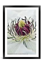NECTAR OF A CLEMATIS, Framed Mounted Print