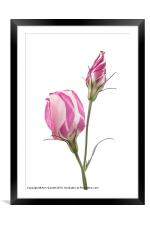 Lisianthus Love 2, Framed Mounted Print