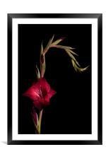 Red Gladiolus on Black, Framed Mounted Print