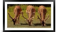 Stag Fallow Deer., Framed Mounted Print