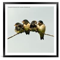 Swallow Fledglings 2, Framed Mounted Print