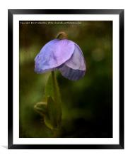 Meconopsis, Framed Mounted Print