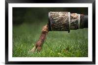 Red Squirrel inspecting a camera lens., Framed Mounted Print