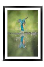 Male Kingfisher, Framed Mounted Print