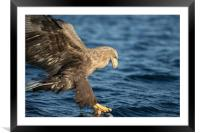 White-tailed Eagle Hunting, Framed Mounted Print