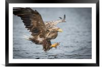 Male White-tailed Eagle, Framed Mounted Print