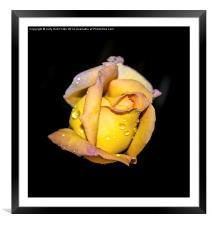 Rosebud and Dew, Framed Mounted Print