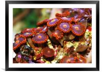Sea Anemones, Framed Mounted Print