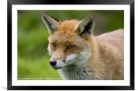 Head Shot of a Red Fox, Framed Mounted Print