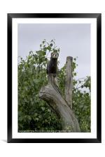 Polecat Up a Tree, Framed Mounted Print