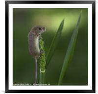 Harvest Mouse On Wheat Stalk, Framed Mounted Print