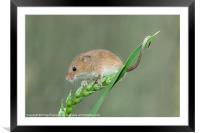 Harvest Mouse on Grass Stalk, Framed Mounted Print