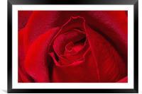 Rose Bud, Framed Mounted Print