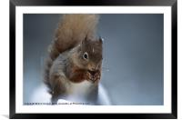 RED SQUIRREL PORTRAIT, Framed Mounted Print