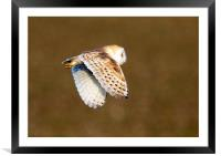 Barn Owl in Flight 2, Framed Mounted Print