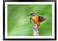 Kingfisher Spreading Wings, Framed Mounted Print