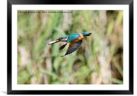 Kingfisher Flying With Fish, Framed Mounted Print