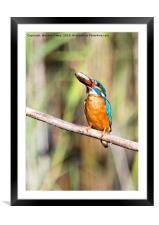 Kingfisher With His Fish, Framed Mounted Print