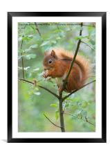 Red Squirrel , Framed Mounted Print