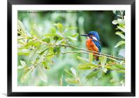 Kingfisher in The Bush, Framed Mounted Print