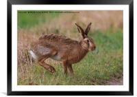 March Hare, Framed Mounted Print