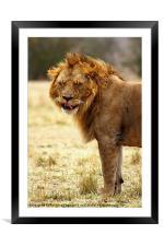 Mmmm...nice! Lion After Copulation, Framed Mounted Print