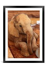 Resting After Feeding, Framed Mounted Print