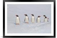 Gentoo Penguins in Conference, Framed Mounted Print