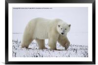 Polar Bear, Churchill, Canada, Framed Mounted Print