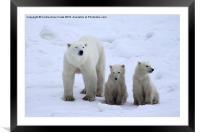 Polar Bear Family Portrait, Framed Mounted Print