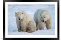 Polar Bears, Churchill, Canada, Framed Mounted Print