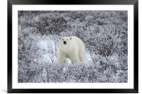 Polar Bear in The Arctic Willow, Framed Mounted Print
