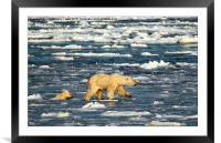 Polar Bears in Hudson Bay, Canada, Framed Mounted Print