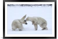 Polar Bear Skirmish, Framed Mounted Print