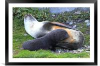 Antarctic Fur Seals, Framed Mounted Print
