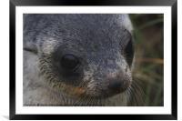 Antarctic Fur Seal Portrait, Framed Mounted Print