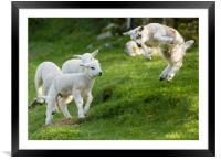 Spring Lamb Springing, Framed Mounted Print