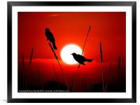 Redwing Blackbirds On Red Sunset., Framed Mounted Print
