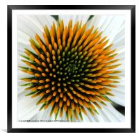 Echinacea Plant, Framed Mounted Print