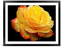 Rain droplets on a Rose , Framed Mounted Print