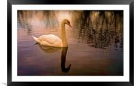 One Swan, sunset on water                         , Framed Mounted Print