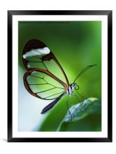 Macro photograph of a Glasswinged Butterfly, Framed Mounted Print