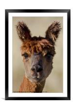 Bright eyed Alpaca, Framed Mounted Print