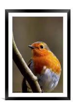 Bright eyed Robin, Framed Mounted Print