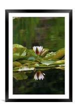 Water Lily reflection, Framed Mounted Print